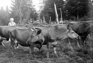 Lypsyä laitumella Itä-Uudellamaalla. Kuva: Suomen maatalousmuseo Sarka.