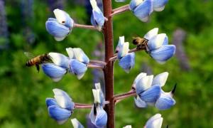 Mehiläisten matka Italiasta kesti neljä vuorokautta. Siitä toivuttuaan ne lähtivät tutustumaan uuteen kotiseutuunsa. Kuva: Kiti Salonen