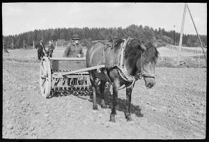 Syyskylvöt piti normaalisti suorittaa Marjan ja Marjatan päivään mennessä. Syysvilja oli ruista, joka muodosti väestön ravinnon perustan pitkälle 1800-luvulle saakka. Kuva Nils Westermarkin kokoelmasta, Suomen maatalousmuseo Sarka.