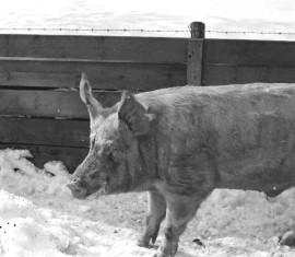 Sika saattoi ennen vanhaan toimia oraakkelina. Sika kertoi uudenvuodenyönä röhkäisyllään, pääseekö kysyjä tulevana vuonna naimisiin. Kuva: Nils Westermarck/Suomen maatalousmuseo Sarka.