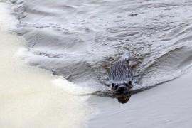 Saukko on erinomainen uimari. Se pystyy olemaan sukelluksissa jopa useamman minuutin ajan. Kuva: Erkki Kallio