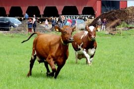 Yleisön odotus palkittiin, kun Juonikas säntäsi laitumelle. Sen vauhdikas startti sai muutkin lehmät liikkeelle. Kuva: Kiti Salonen