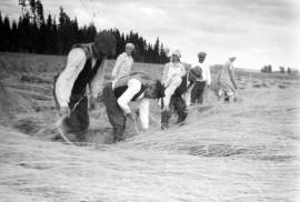 Vanha maatiaisruis on hyvin pitkää ja siksi yleensä korjuuaikaan kevyesti laossa. Kuvassa elonkorjuuta Loimaalla 1930-luvulla. Kuva: Suomen maatalousmuseo Sarka.