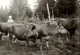 Yrjön päivä on perinteinen karjan uloslaskupäivä. Kuva vuodelta 1929 Lempäälästä. Kuva: Väinö Niemi / Suomen maatalousmuseo Sarka.