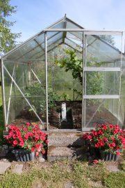 Kasvihuoneessa kohoaa tomaatteja ja viiniköynnöstä. Kuva:Maija Paloposki