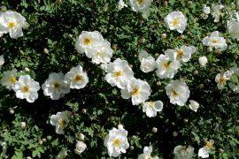 Juhannusruusu on täydessä kukassaan. Kuva: Tiina Naula
