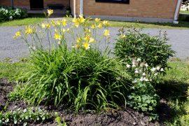 Keltainen päivänlilja ja valkoinen akileija ovat jo kukassa, pioni on vasta puhkeamassa kukkaan. Kuva: Tiina Naula