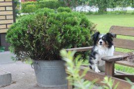 Isolla pihalla perheen koirilla on tilaa juosta. Nelli viihtyy myös pihatuolissa. (Kuva: Kiti Salonen)