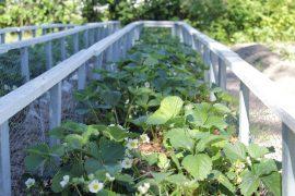 Sirpa Saarento on nikkaroinut pihalle monenlaista itse. Verkkkokehikko suojaa mansikoita linnuilta. (Kuva: Kiti Salonen)