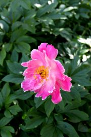 Suuret unikot ovat näyttäviä kukkijoita. Kuva:Anu Salo