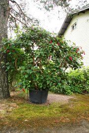 Vanhat verenpisarat toivottavat vieraat tervetulleiksi talon portilla. Kuva: Lari Kiviranta.