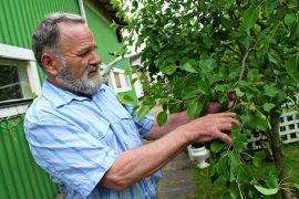 Löytyypä puutarhasta päärynäpuu, luumupuita ja perheomenapuu, jossa on kolmea eri lajiketta omenaa. Kuva: Lari Kiviranta.