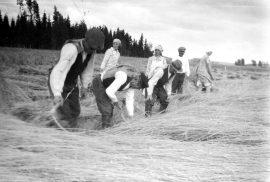 Vanha maatiaisruis on hyvin pitkää ja siksi yleensä korjuuaikaan kevyesti laossa. Kuvassa elonkorjuuta Loimaalla 1930-luvulla. Kuva: Suomen maatalousmuseo Sarka