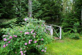 Takapihalta metsään vie kaunis pieni silta, jonka vieressä kukkii ruusu. Kuva: Siiri Jumppanen