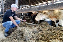 Lihanautoja kasvattavan Salomon Kolin tavoitteena on investoida vielä isompaan navettaan. Kuva: Marianne Rovio