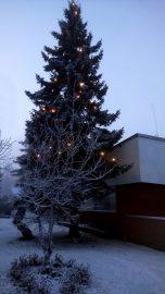 Kotikuusen joulurauhaa. Kuva: Mikko Isomäki