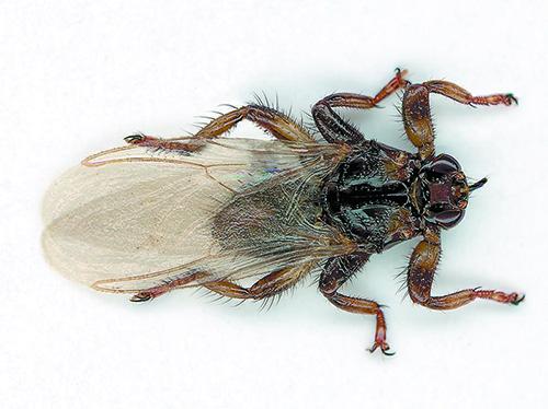 Hirvikärpästä tutkittiin noin 10 vuotta sitten isossa tutkimuksessa. Sen jälkeen tämän hyönteisen tutkimus on hiipunut. Kuva: Timo Harju.