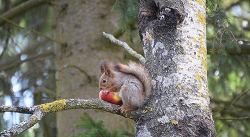 Loimaalaisen oravan vappuaaton lounas. Sen kuvasi Matti Kallio.