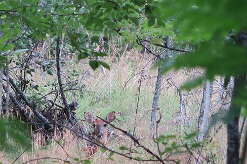 Timo Salon kuvassa peura on piilossa. Kuva on otettu Loimaalla elokuun alussa.
